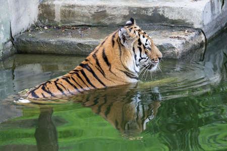 tiger relaxes in the water on the steps of an ancient temple