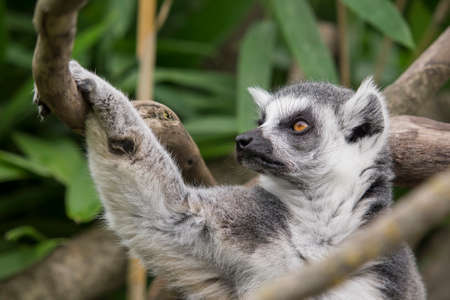 close-up of a ring-tailed lemur clinging to a tree Stock Photo
