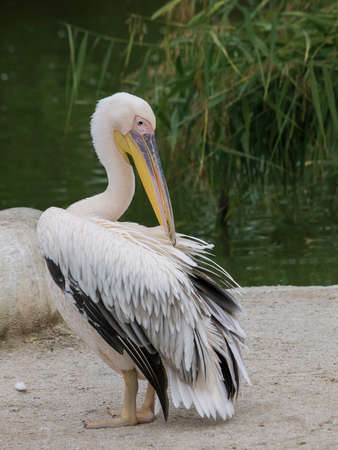 seabird: greater pelican cleans feathers