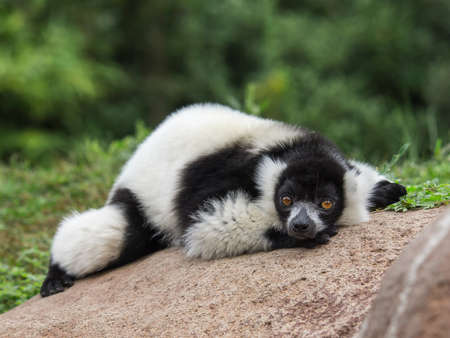 lemur with a prominent muzzle and dense fur that forms a ruff around the neck, living in the Madagascan rain forest.