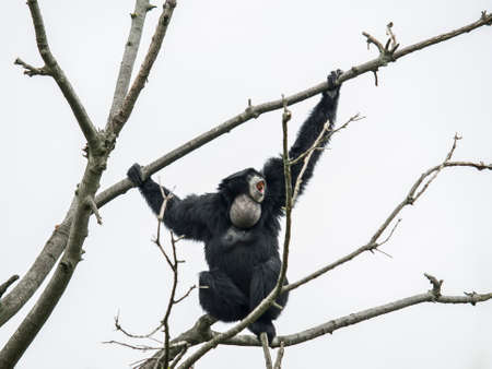 siamang: Siamang gibbon on the tree in agressive attitude Stock Photo