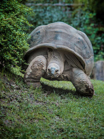 Aldabra giant tortoise advances slowly in the meadow in the shelter of the hedge Stock Photo