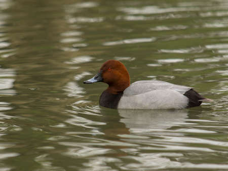 Pochard duck swims in the pond in a quiet autumn day Stock Photo