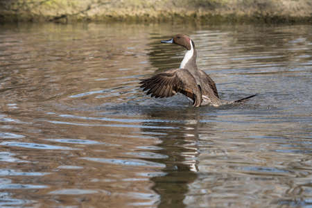 male specimen to Pintail Anas acute and shakes its wings Stock Photo
