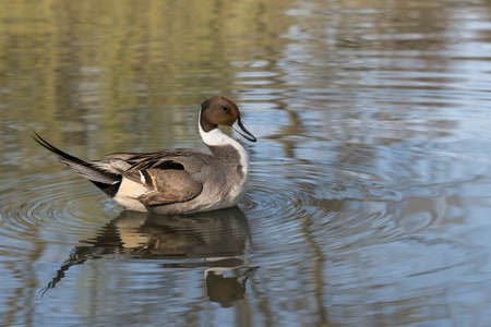 male specimen to Pintail Anas acuta quiet swims in the pond