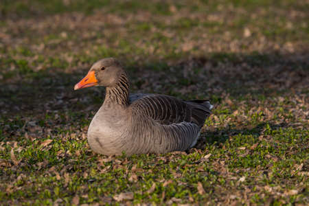 palmiped: wild goose rests quietly in the field at the end of the day Stock Photo
