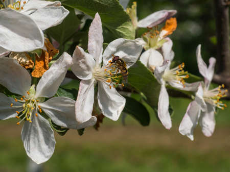 Bee at work collecting pollen in an apple orchard