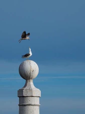challenge between seagulls to stay sopre the stone column Standard-Bild