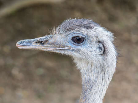 close-up of a curious Emu, who approaches without fear