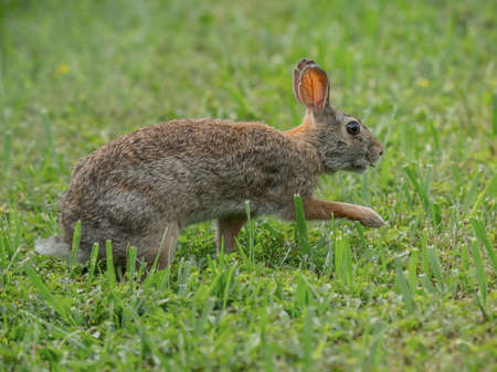 a Eastern Cottontail crosses a meadow guarded on a summer afternoon
