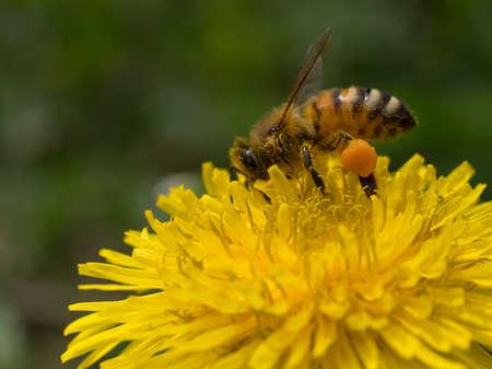 ape al lavoro su fiore di tarassaco durante la raccolta del polline