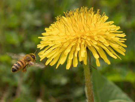 ape in volo verso un fiore di tarassaco per la raccolta del polline