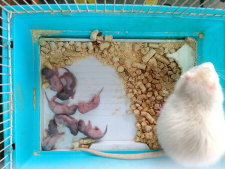 A small white mouse sits with its newborn mice in a cage in a petting zoo. Stockfoto