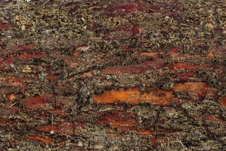 Background of pine bark of wet tree are covered by spores of the lichen.