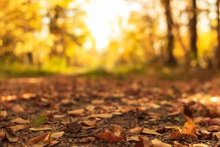 Country road is covered with fallen dry leaves in the autumn forest at sunny day, fall landscape, front focus, low angle