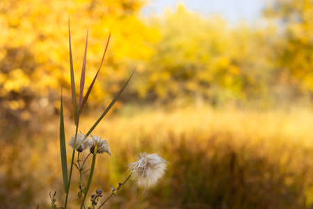 Fluffy wet wild flower in the autumn meadow at sunny day, scenic fall landscape in yellow color 스톡 콘텐츠