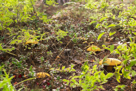 Group of mushrooms boletus, suillus luteus, in shrubs in the coniferous forest at sunny morning, mushroom picking season