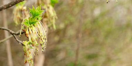 Seeds in hanging earrings of maple tree blooming flower and fresh new greenery in spring