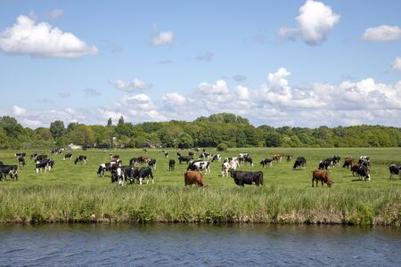 Herd of cows grazing on a green meadow lower behind the dike of a canal in dutch landscape with trees at the horizon and a sky with clouds.