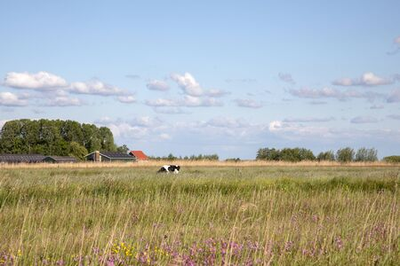 Dutch landscape, in the distance a cow in the reed field and a farm in the background under a blue sky with clouds. Stockfoto
