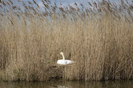 White mute swan lies on its nest hidden among the high waving reeds on the banks of a river.