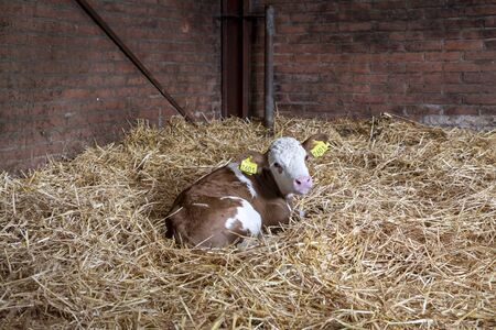Beautiful delicate red-brown blaarkop calf with a bright pink nose is lying curled up in straw in the stable, looking back upwards.