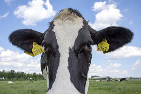 Close up of a head of a spotted cow with yellow ear tags, standing in a green pasture with in de background a blue sky with clouds.