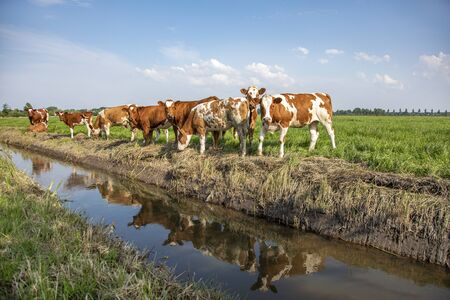 A group of young cows, their reflection in the water, are standing next to a ditch, in a green meadow and blue cloudy sky