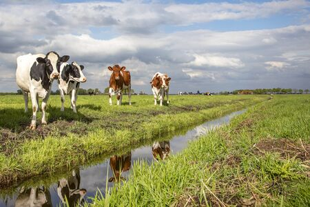 A group of young cows, their reflection in the water, are walking along to a ditch, in a green meadow and blue cloudy sky Banque d'images