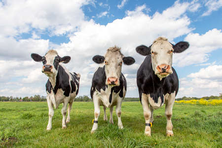 Three cows in a field under a blue cloudy sky and a faraway straight horizon, upright and sturdy and wearing a cattle ankle tracking sensor connected to the cloud