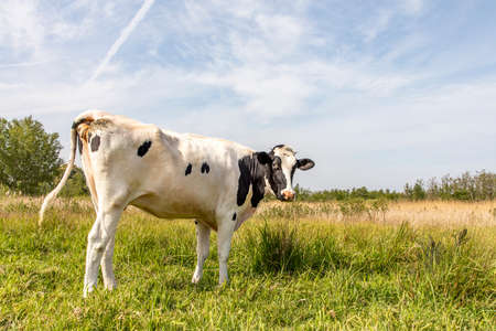 Black and white cow, surprised looking backwards in a green pasture, under a pale blue sky