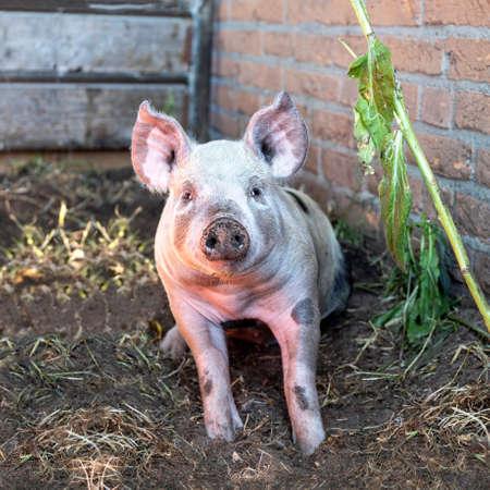 Cute happy swine, young piglet, sitting in a corner of a farmyard