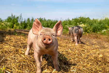 Happy swine, young piglet playing in a the straw, cheeky funny pig is approaching nosy and walking towards the camera