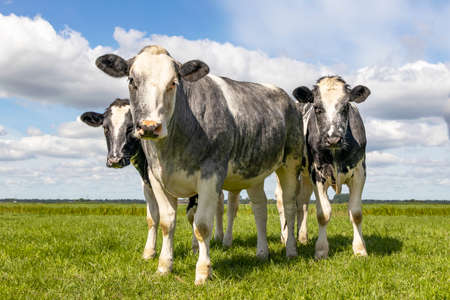 Muscular beef cows, Belgian Blue, walking in a green pasture looking at the camera, happy and joyful and a blue cloudy sky,