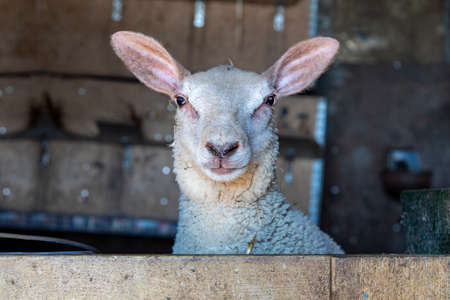 Funny sheep pop up in a barn, cross eyed, funny expression and looking surprised