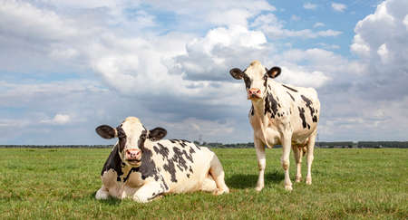 Black and white cows, frisian holstein, in a pasture one cow standing upright the other one lying down in the field chewing and mooing under a blue sky and a straight horizon.