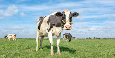 Clumsy cow with a rope around her mouth, white blaze black and white cow, a green background and a blue sky