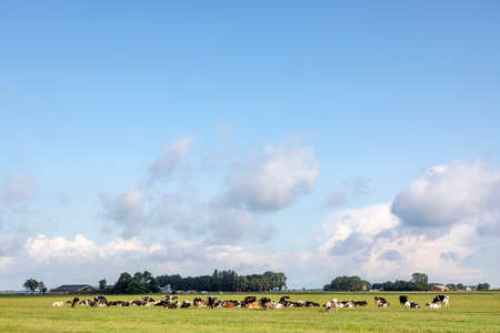 Herd of cows lying down in the field, peaceful and sunny in Dutch landscape of flat land with a blue sky with clouds, panoramic wide view