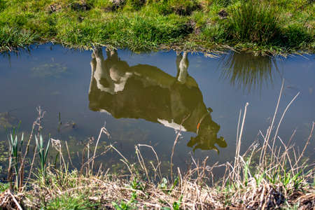 Reflection of one cow in the water of a creek or ditch, black and white dairy cattle with horns 免版税图像