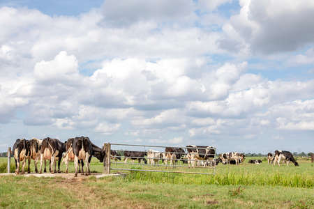 Group of cows passing a gate in the field, peaceful and sunny in Dutch landscape of flat land with a blue sky with clouds, panoramic wide view