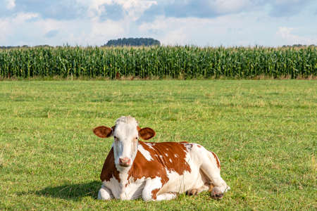 Cow lying down relaxed and happy, red with white spotted in the middle of a field, a corn field as background 免版税图像
