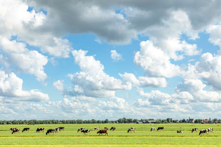Herd of cows grazing in the pasture, peaceful and sunny in Dutch landscape of flat land with a blue sky with clouds on the horizon, wide view 免版税图像
