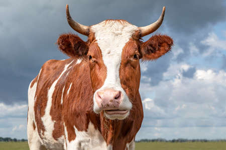 Portrait of the head of a red cow with horns and white blaze, ruminating chewing blades of grass, blue cloudy sky 免版税图像