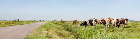 Deserted country road through the meadows, a grazing herd of cows in the pasture in the polder of Bunschoten, panoramic view