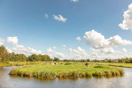 Cows at the bank of a stream, typical landscape of Holland, flat land and water and on the horizon a blue sky with white clouds, panoramic wide view 免版税图像