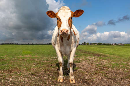 Red brown dairy cow standing steadfast and firm in a pasture with overcast, heavy clouded blue sky in a green pasture