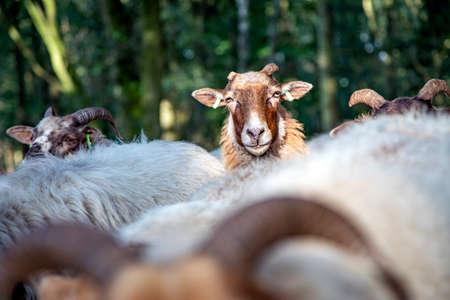 Funny head of a Drent Heath sheep with horns, amidst a flock of sheep. Drenthe Heath Sheep.