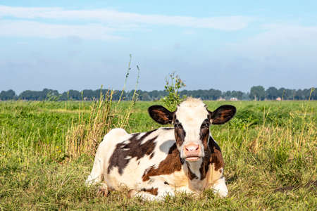 Grumpy cow lying down curled up in the field. Brown and white calf with funny angry face