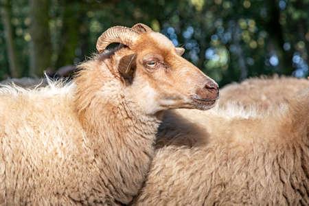 Close up of the profil head of a Drent Heath sheep with horns, amidst a flock of sheep. Drenthe Heath Sheep.