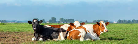 Summer evening and a group of young cows cozy lying together in the pasture, peaceful and happy, a panoramic wide view 免版税图像